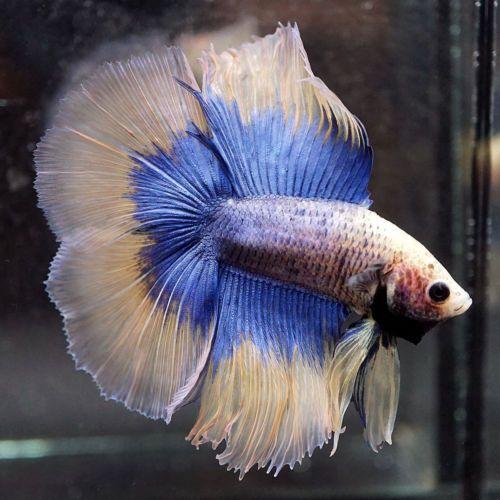 Live Betta Fish Blue Butterfly Yellow Double Tail Full Moon Dt Male 407 Betta Fish Betta Fish
