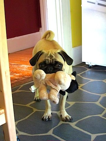 Pug eat pug world.