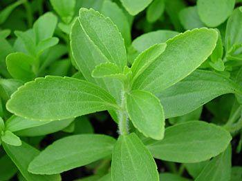 Chá de stévia - Benefícios e propriedades