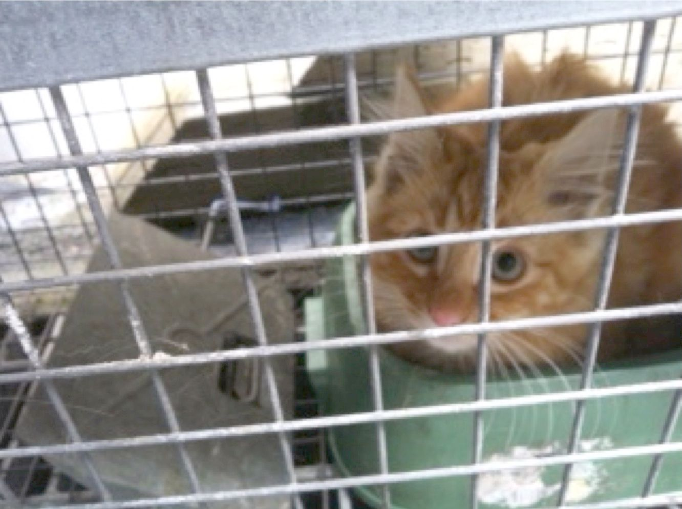 Kyle the Feral Cat caught in Havahart® trap! animals