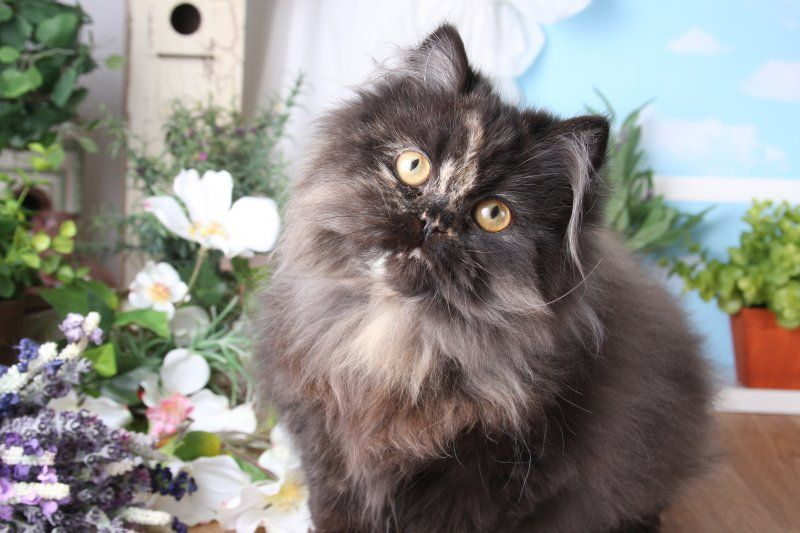 Tortie Kittens For Sale Angora Cats Cat Facts Teacup Cats