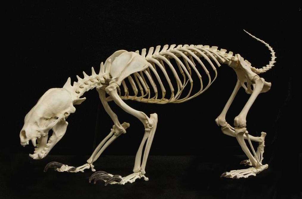 $75 American Badger Skull (Natural Bone Quality A ...