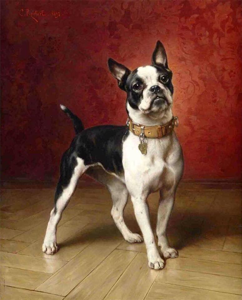 Boston terrier dog photo                                                                                                                                                     Plus
