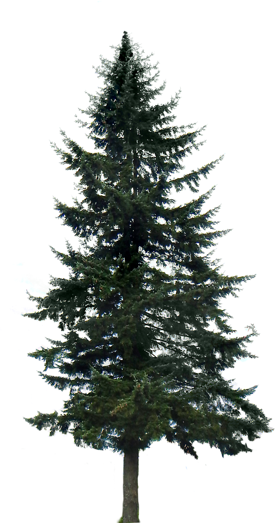 View And Download Hd Pine Tree Png Image Pine Trees Transparent Background Png Image For Free The Image Reso Pine Tree Silhouette Tree Silhouette Background