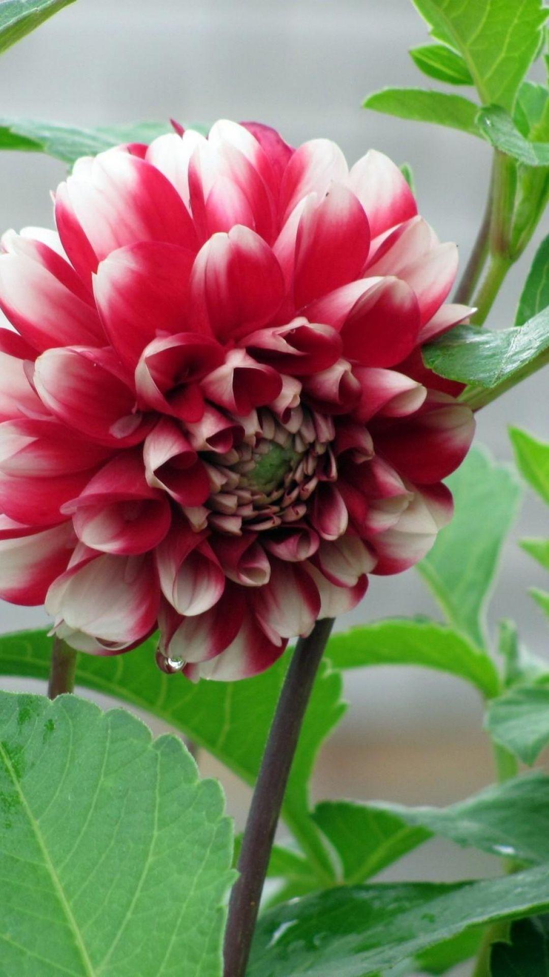 Dahlia Flower Bud Stems Leaves New Flower Wallpaper Best Flower Wallpaper Flower Wallpaper