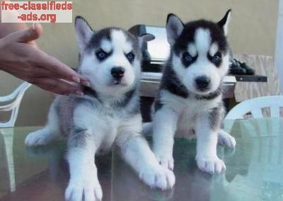 Free Classifieds Ads Org We Have Lovely Puppies For Adoption
