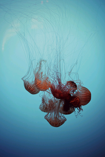jellyfishobsession