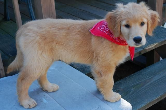 Golden Retriever Puppy Dog Bandana Pictures Jpg 640 426 Golden Retriever Golden Retriever Puppy Puppies