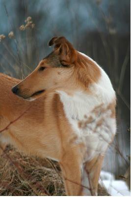 Smooth Collie Dog Photo Collie Collie Smooth Collie Stud Dog