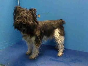 CHASE is an adoptable Schnauzer Dog in Brooklyn, NY