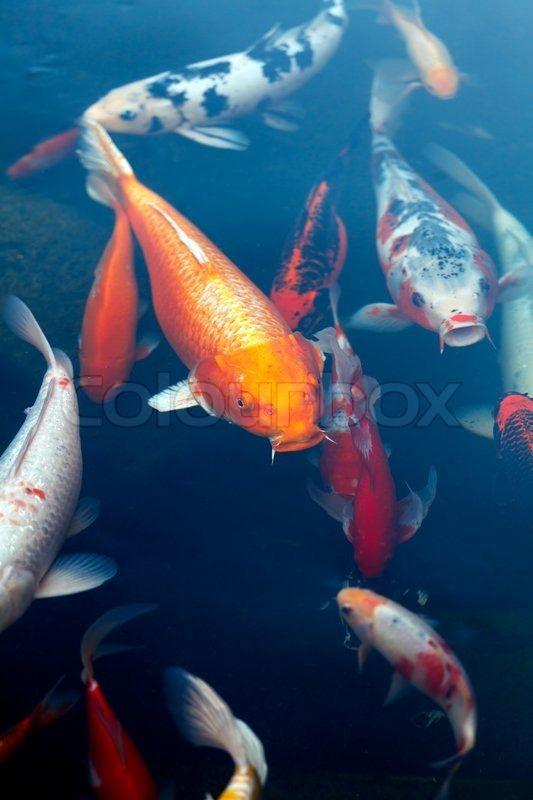 Koi Pond With Japan Colorful Carps Stock Photo Colourbox Koi Fish Pond Koi Pond Fish Ponds