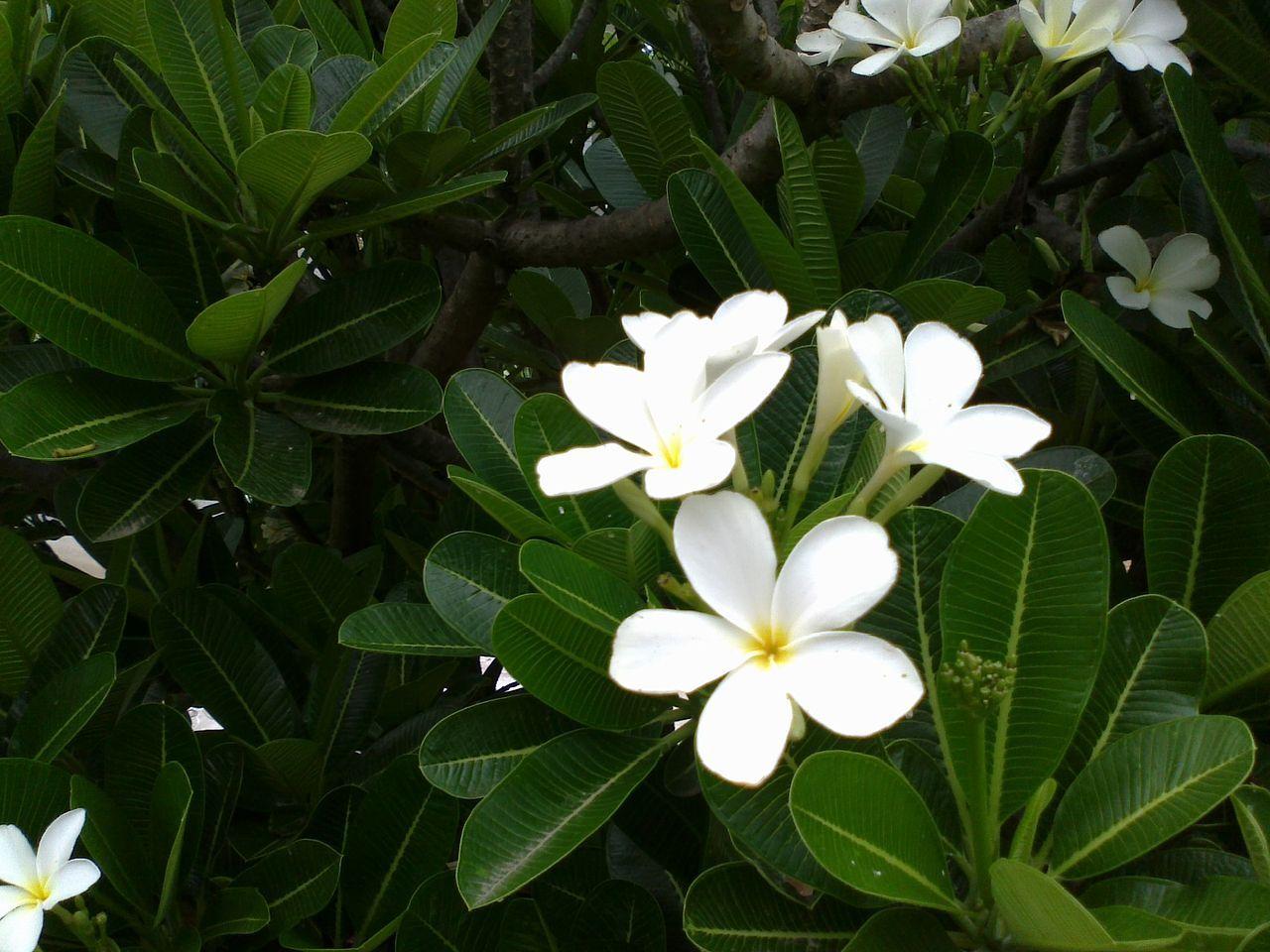 Plumeria White Plumeria Wikipedia The Free Encyclopedia