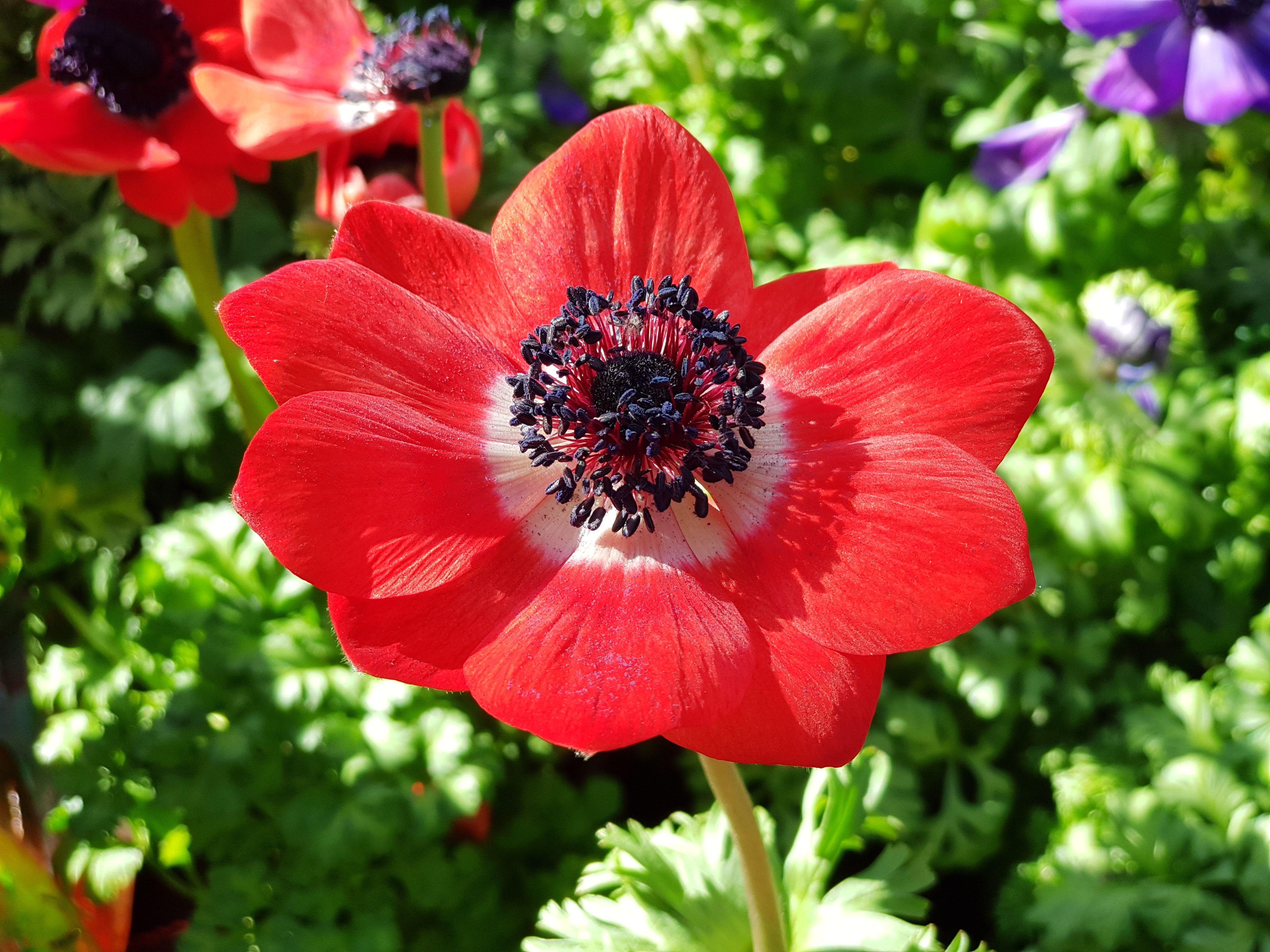 Rote #Kronenanemone (Anemone coronaria) #anemones #Anemone ...