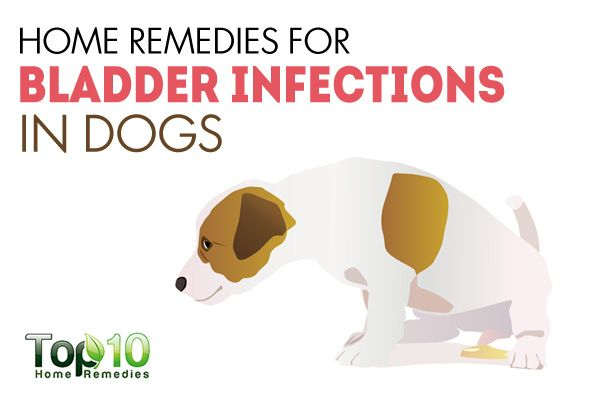 Pin By Jessica Crabb On Love To Learn Bladder Infection In Dogs