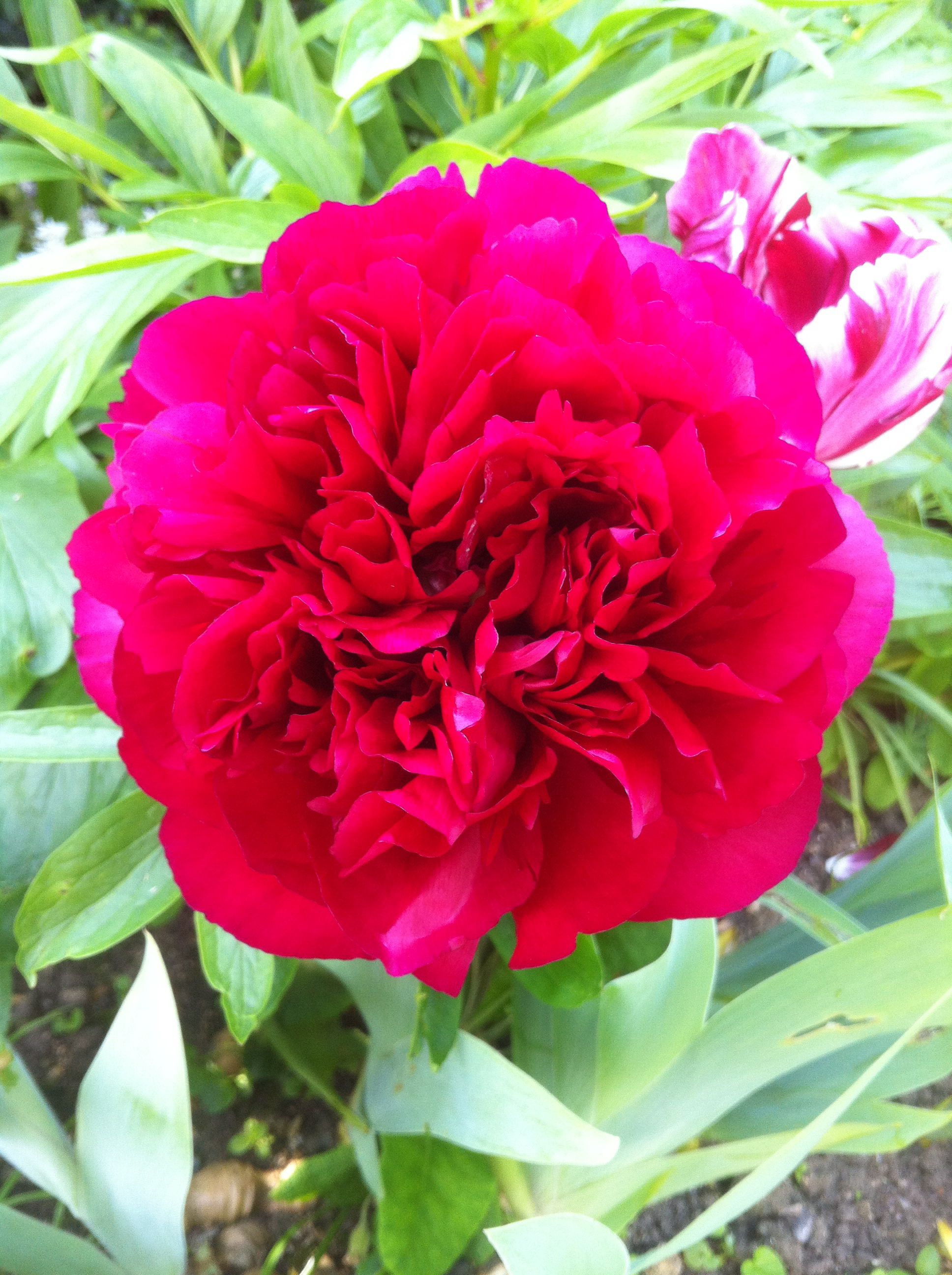 I love the colour of our Peonies - beautiful !