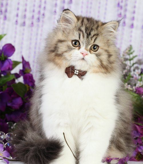Golden White Bicolor Persian Kittens With Images Cute Cats