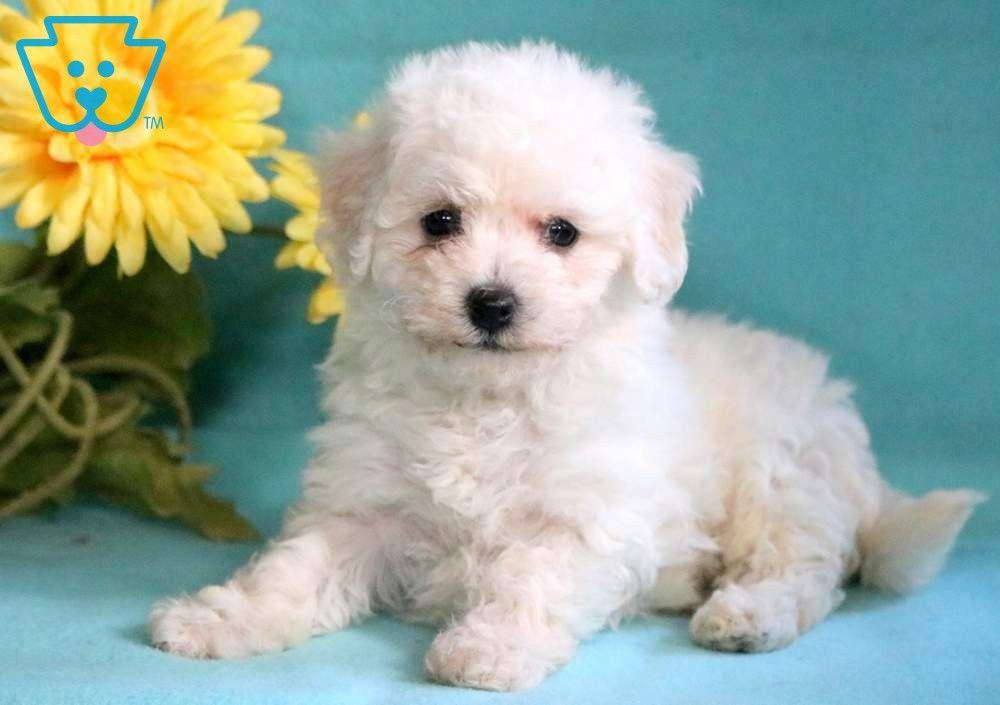 Snowflake Puppies Bichon Frise Puppy Bichon Frise Dogs