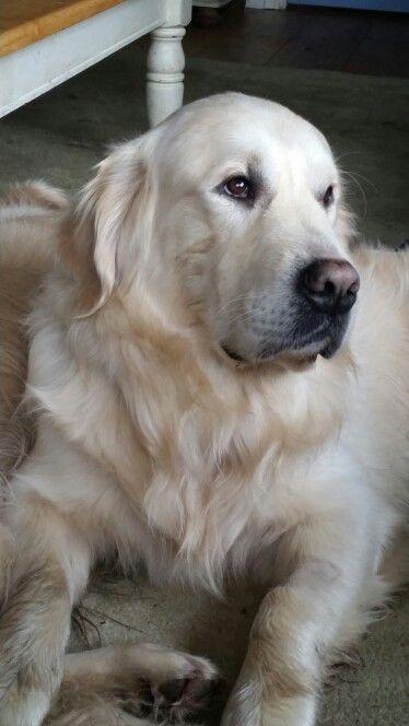 Beautiful English Cream Golden Retriever Dogs Golden Retriever