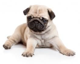 Pug Village Pugs Pictures Information Forum Cute Pugs Cute