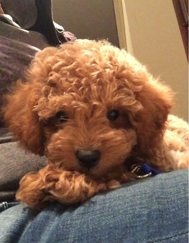 Toy Goldendoodle Puppy Yogi With Images Goldendoodle Puppy