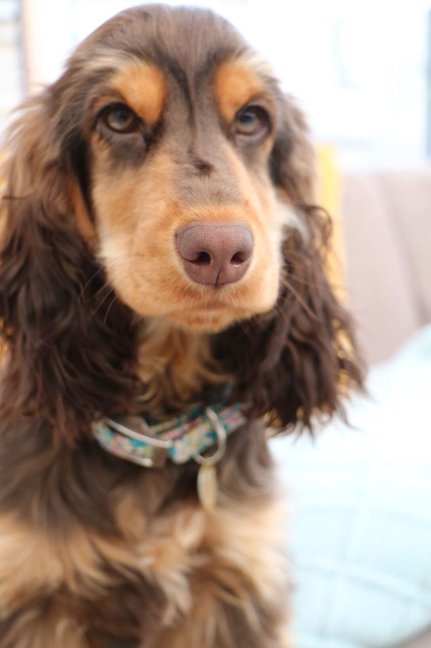 Brown And Tan English Cocker Spaniel Honey 5 5 Month Old Cocker
