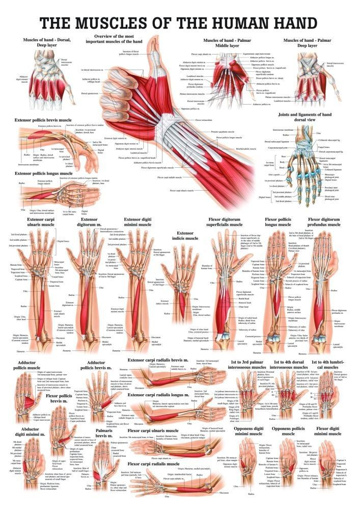 Muscles of the Hand Laminated Anatomy Chart psoas release | Massage ...