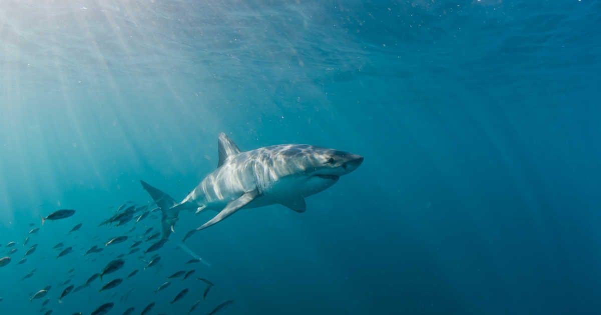 Massive Great White Sharks Are Swimming Near South Florida Right Now White Sharks Great White Shark Shark