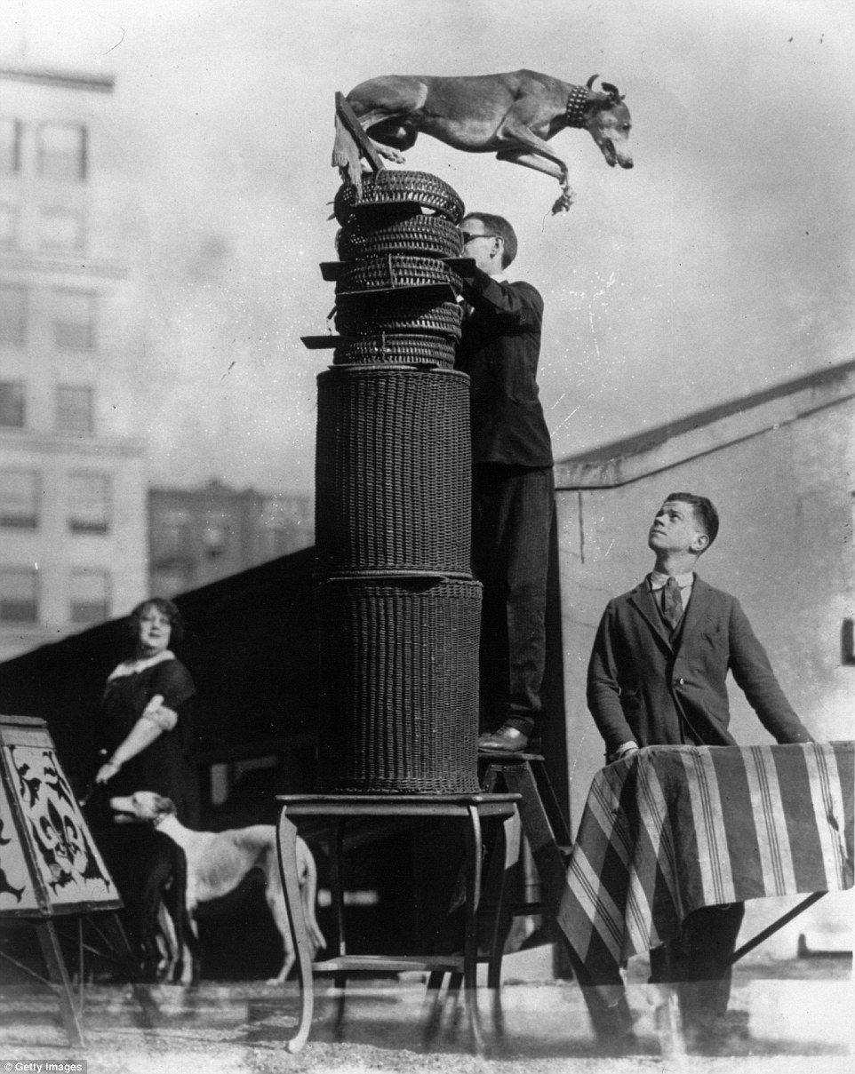 Pictured Rambling Gold, the champion jumper makes the world record of 12 feet and 2 inches in 1925