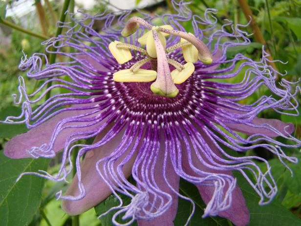 Passionate For Passionflowers Flowering Vines Climbing Flowers Passion Flower