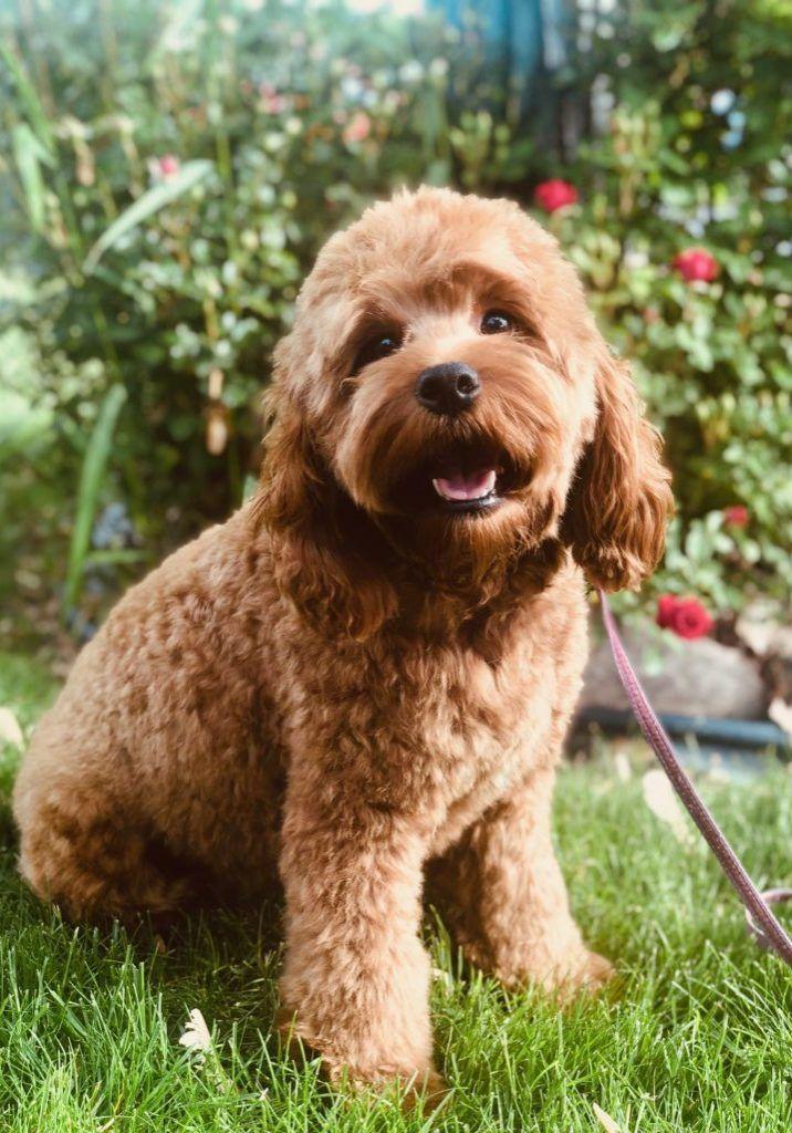 Cockapoos ⋆ Mini Doodle Dogs ⋆ Cockapoo puppies ⋆ Teacup