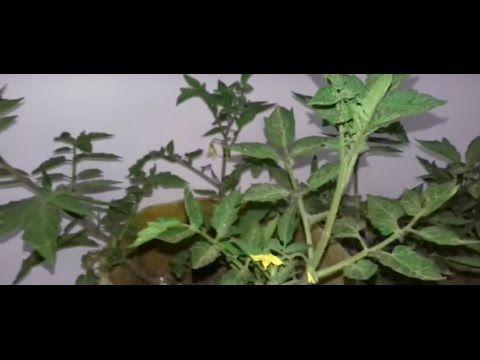 مراحل نمو الطماطم من البداية نوع التربة السماد الزراعة Growing Tomato Plants