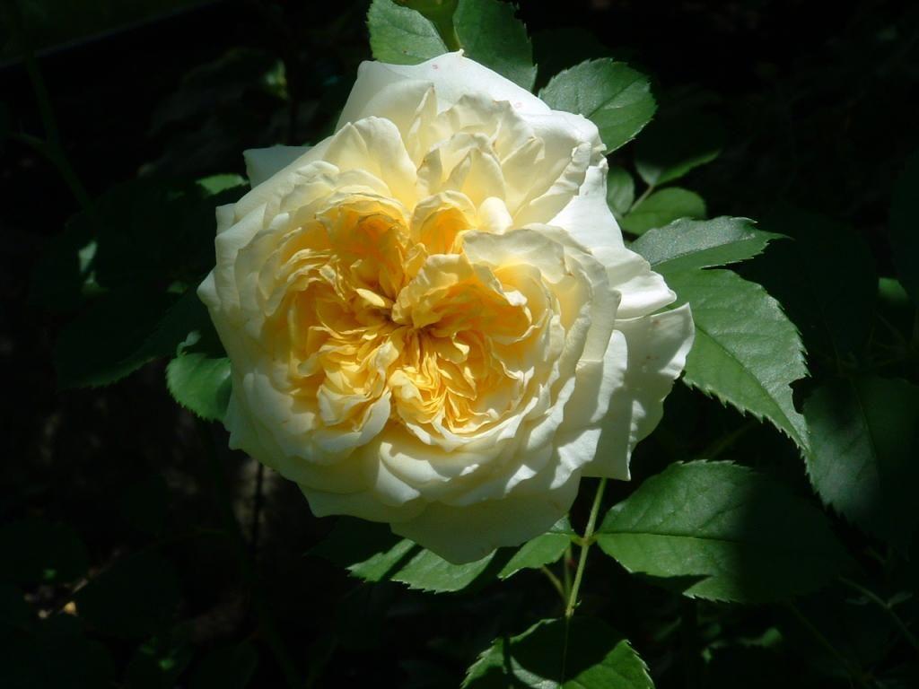 The PIlgrim David Austin rose
