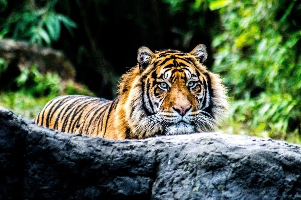 Tiger Predator Animal Confident 4k Wallpaper Animals Animal Wallpaper Wild Cats