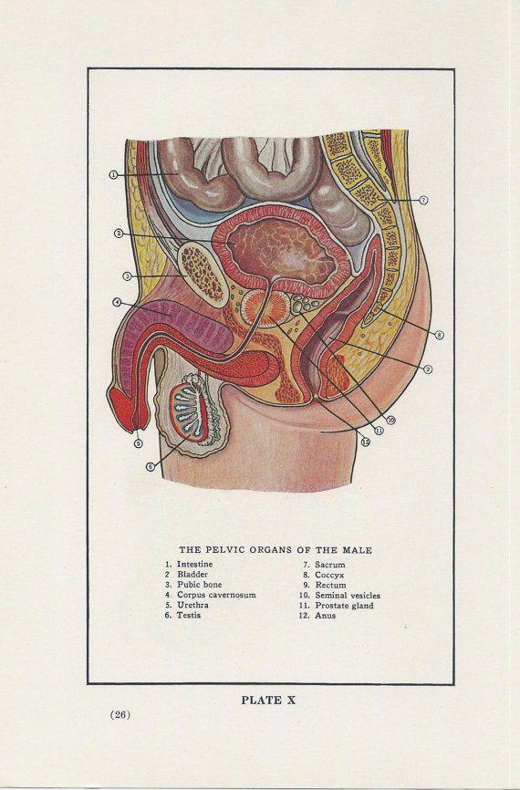 Pelvic Organs of the Male, Anatomy, Medical, Vintage Medical ...