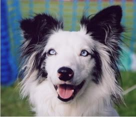 Border Collie Blue Eyes Thread Border Collie With Two Blue Eyes