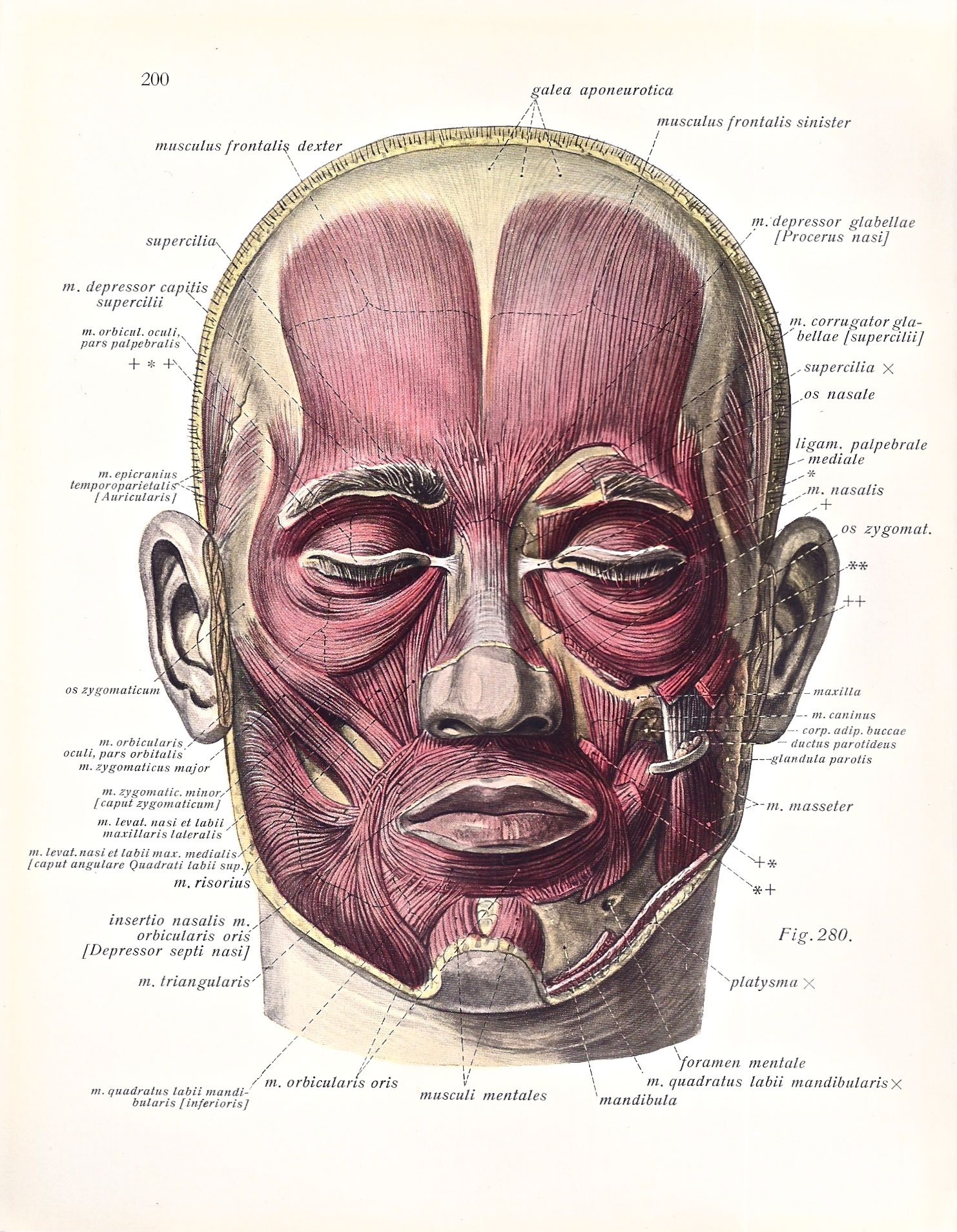 1930\'s Anatomical Illustration of the Muscles of the Face. | Prints ...