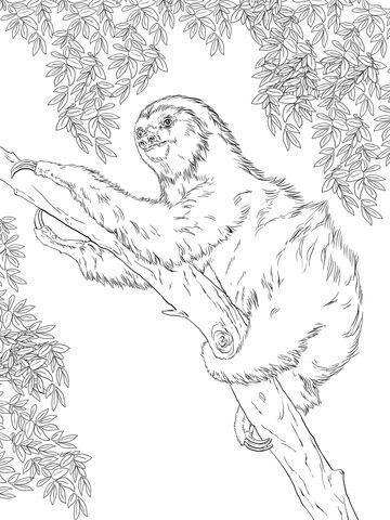 Perezoso de Dos Dedos sobre un árbol Dibujo para colorear | Coloring ...