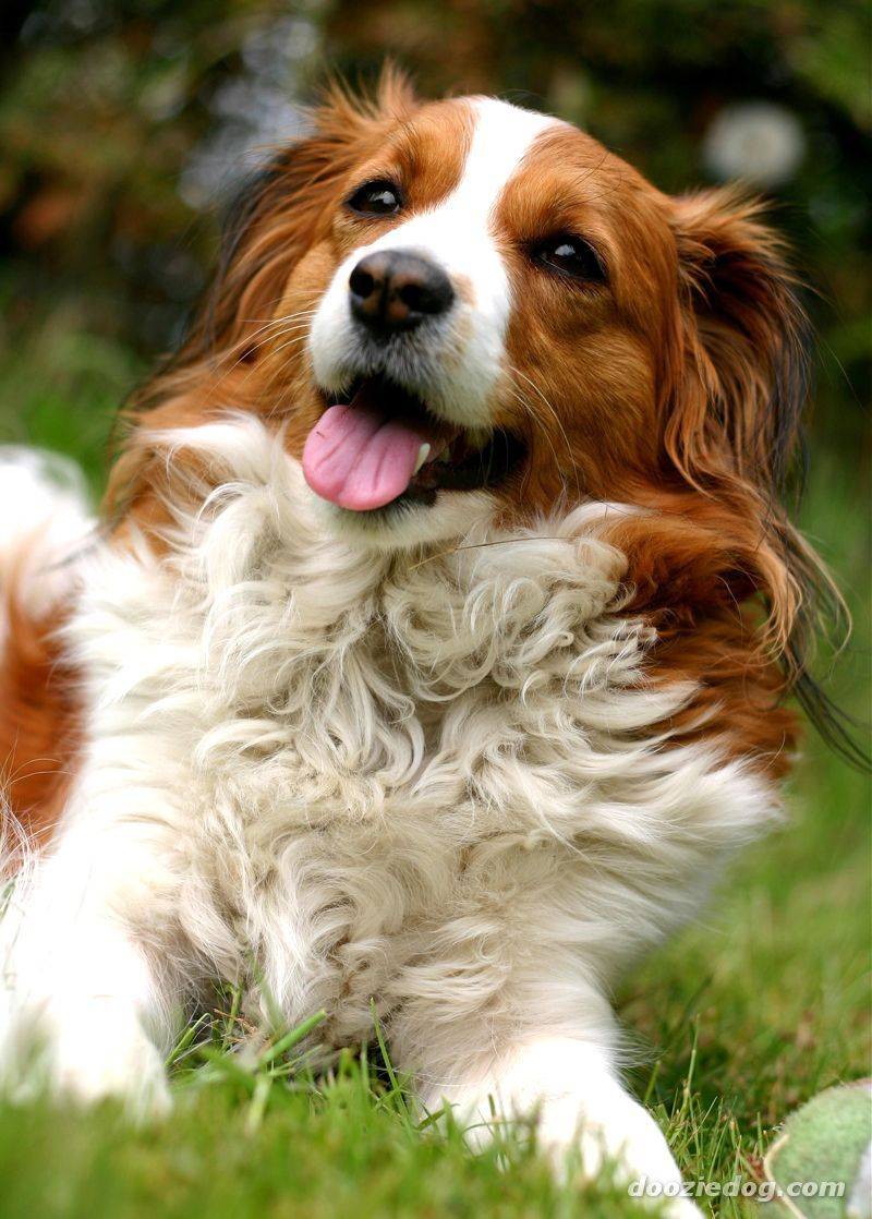 Kooikerhondje Dog Breeds Dogs Dog Angel