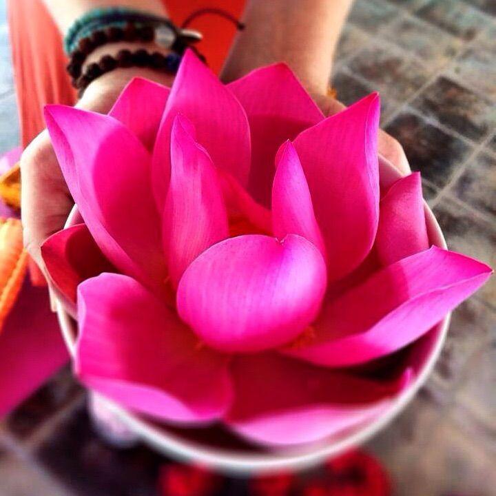 Pink lotus flower in Bali: Lakshmi's symbol of abundance