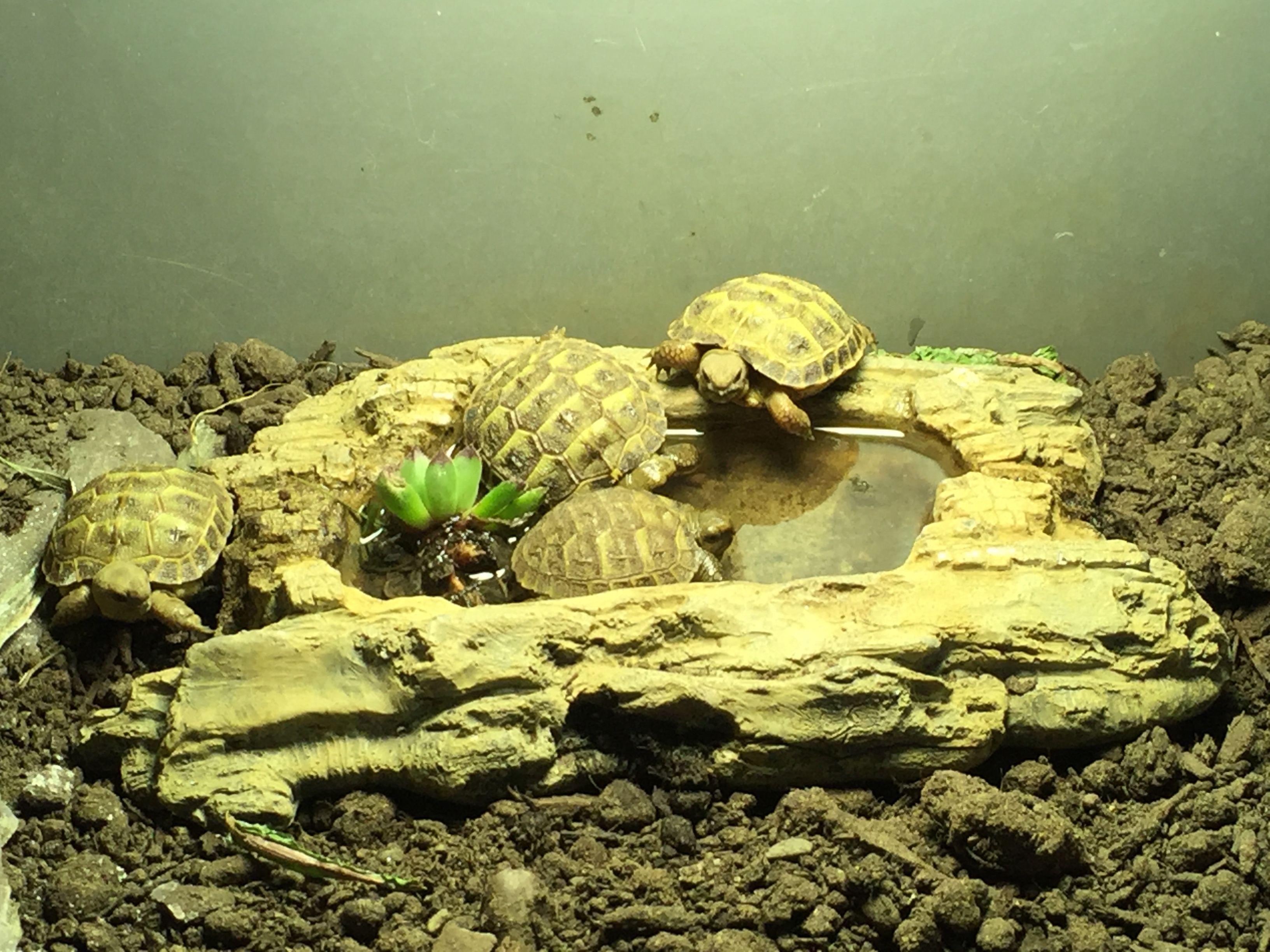 Baby horsfield tortoises born in the tortoise hotel