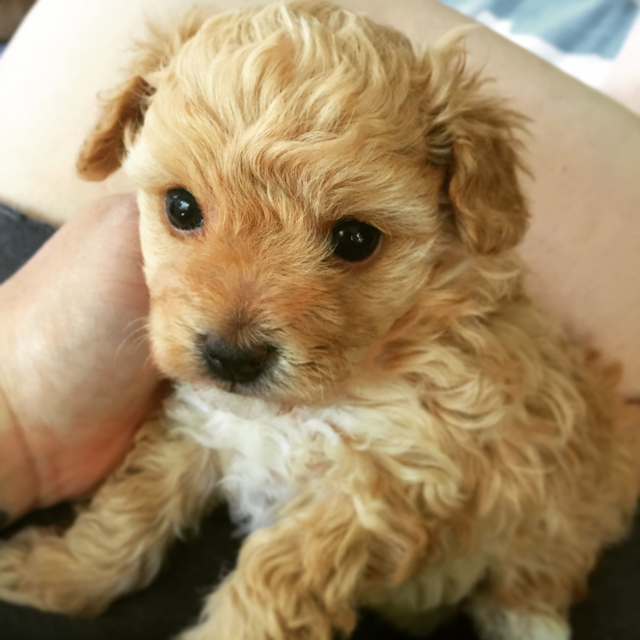 Teacup Poodle Baby Puppies Kitties Baby Puppies Toy Puppies