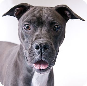 Chicago, IL Boxer Mix. Meet Zoey, a dog for adoption