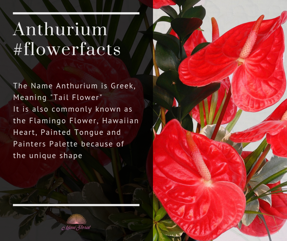 Fresh Anthurium Now Available For Order On Our Store Anthurium Anthurium Flower Flamingo Flower