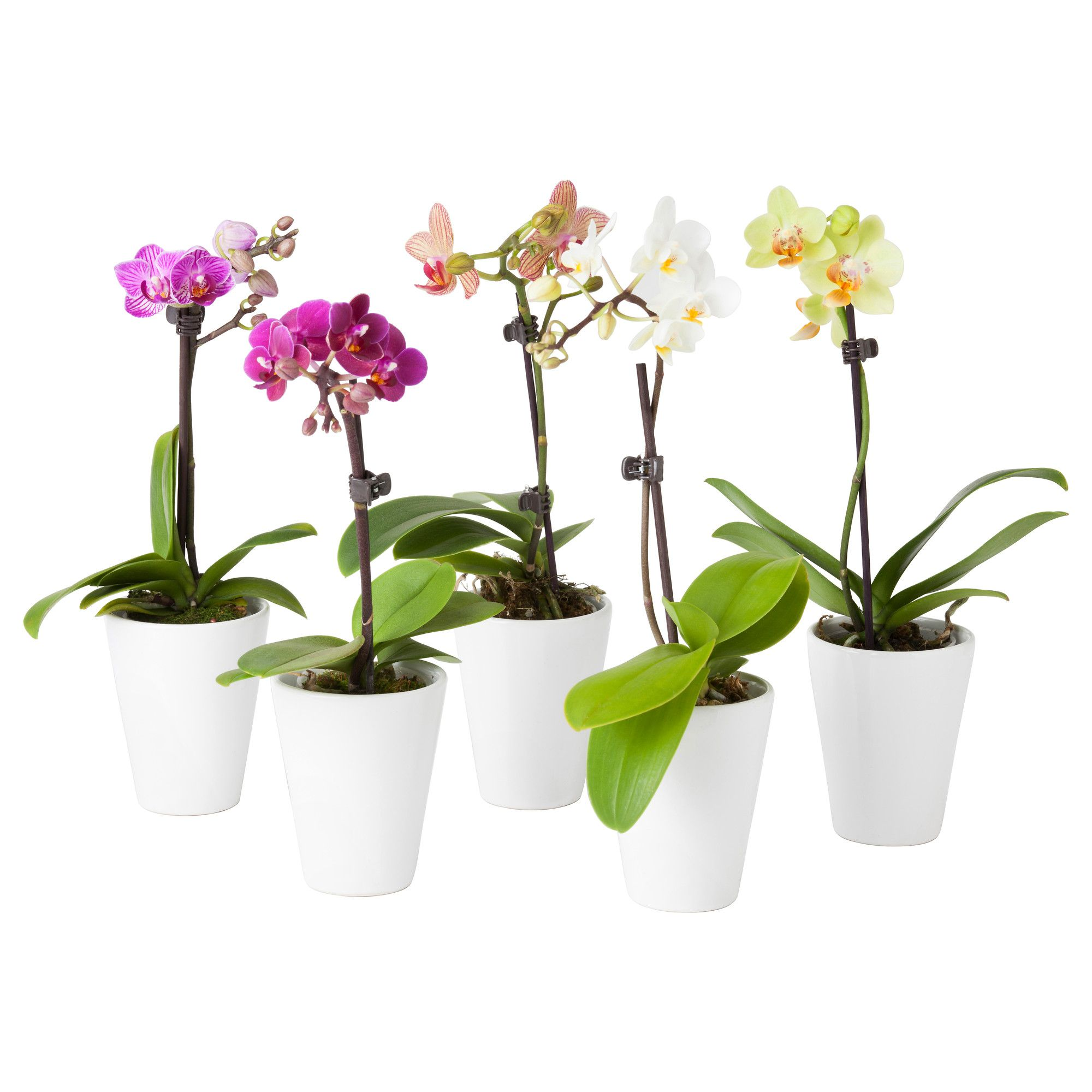PHALAENOPSIS Potted plant with pot Orchid, assorted