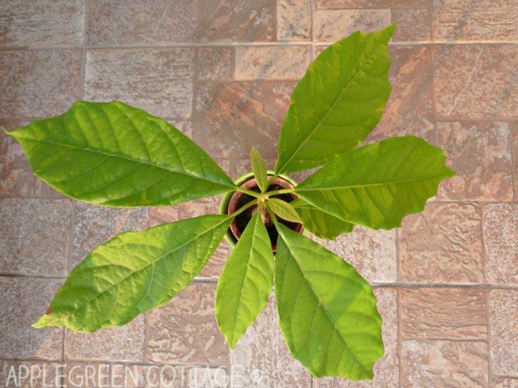 How To Grow An Avocado Tree - The Lazy Way!  How To Grow An Avocado Tree - The Lazy Way!        I w