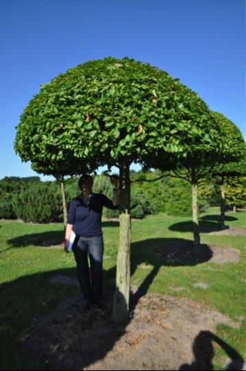 Umbrella Shaped Tree Google Search