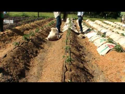 Using Burlap Bags And Coffee Chaff As Mulch Really Saves A