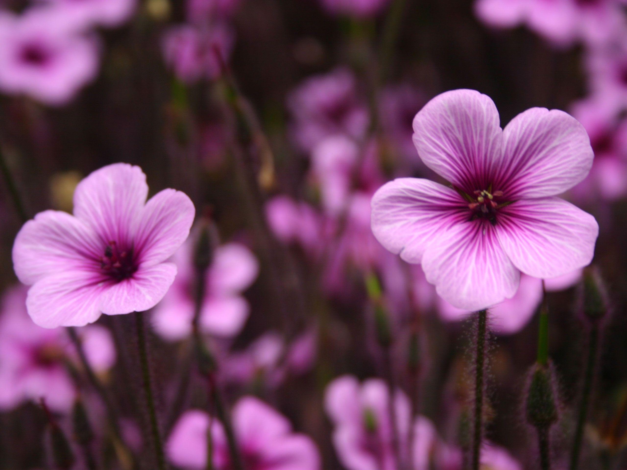 Hd Flower Wallpaper Free Purple Flowers