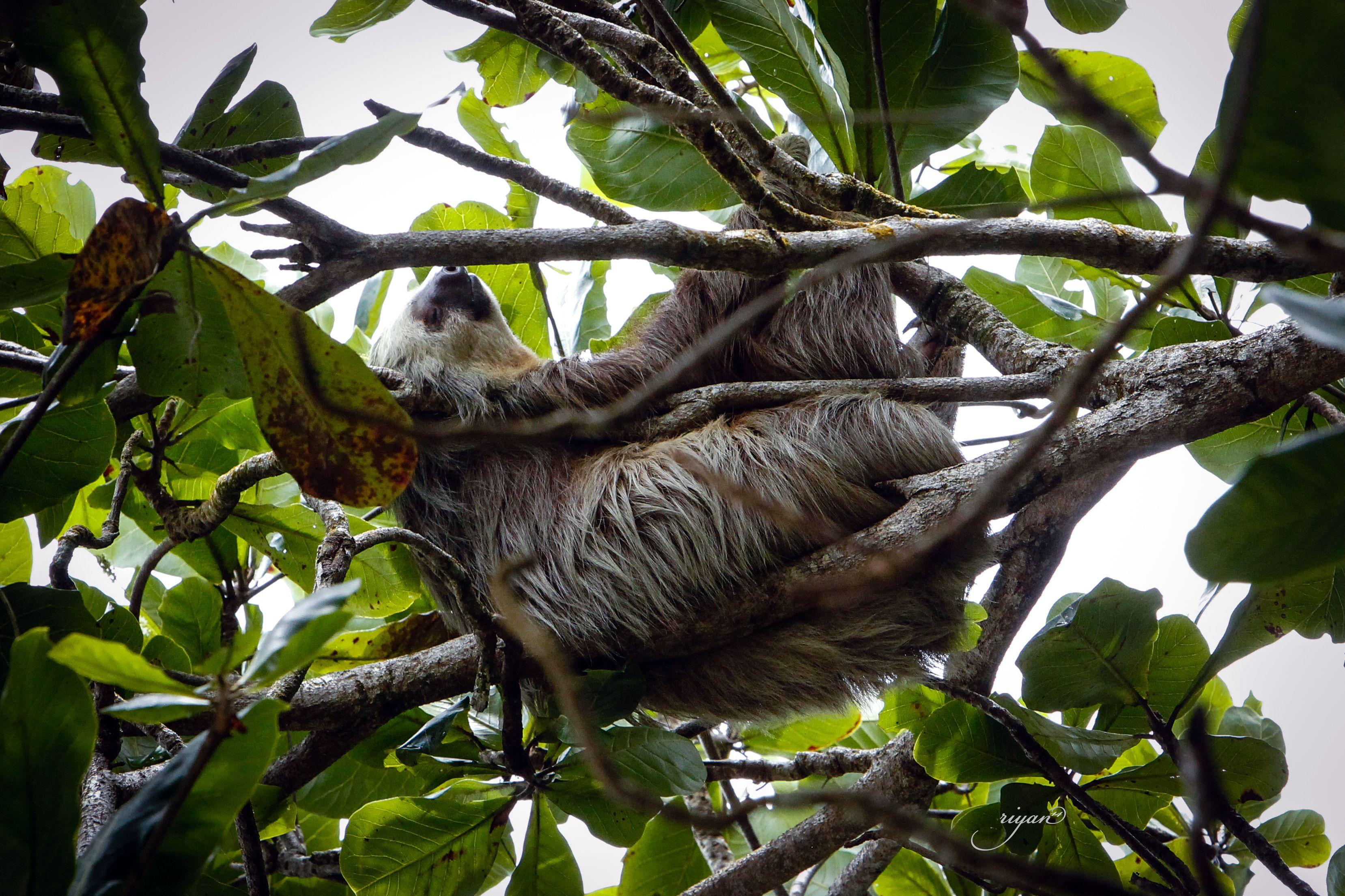 Sloth - Cahuita