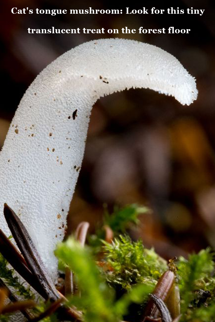 Cat S Tongue Mushroom Look For This Tiny Translucent Treat On The